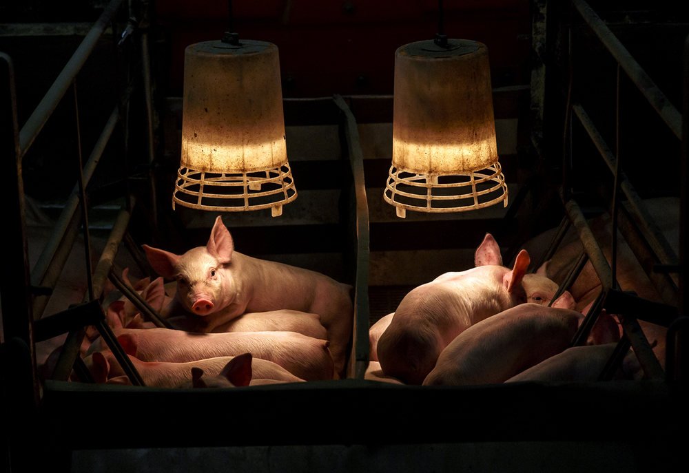 Piglets that are between 14-16 days old jockey for a position to feed from their mother underneath a heat lamp at farrowing house at Borgic Farms, Monday, May 2, 2016, in Raymond, Ill. Borgic Farms is looking to expand with a new site along with other Illinois hog producers that filed more than 120 expansion notices with state regulators in 2015 and another 60 so far this year. Justin L. Fowler/The State Journal-Register