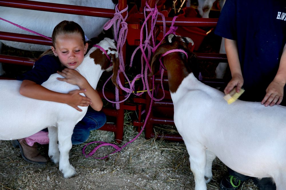 Zoe Portwood, 9, a member of Athens-based No Mountain Too High Christian Ministries, snuggles with a goat before showing it in the commercial doe class at the goat show Thursday night, June 16, 2016 at the Sangamon County Fair in New Berlin, Ill. At right is church member Talon Digiovanna, 7, who brushes a goat. David Spencer/The State Journal-Register