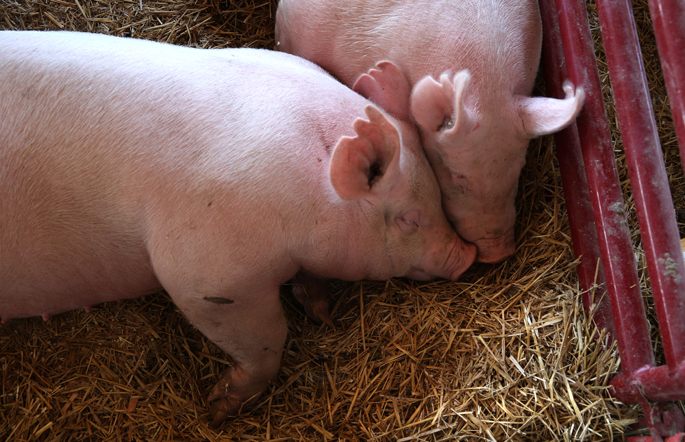 Swine snuggle with each other in a holding pen at the Sangamon County Fair in New Berlin, Ill on Thursday, June 16, 2016. David Spencer/The State Journal-Register
