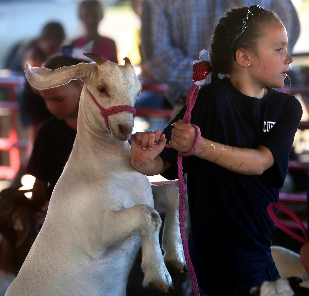 A young member of the Athens based No Mountain Too High Christian Ministries holds on tight to her charge: a doe goat being judged in the commercial class at the Sangamon County Fair in New Berlin, Ill on Thursday, June 16, 2016. David Spencer/The State Journal-Register