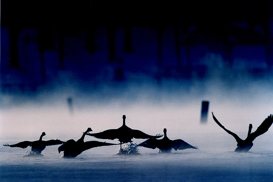 "Titled ""Liftoff"", the original Tuesday, March 2, 1993 SJR caption for this photograph, where it appeared on the City/State page was: ""Mist rises from Lake Springfield as five Canada geese head for open water before spreading their wings and lifting off into the cold sky of a winter morning. The ice and snow still covering parts of the lake Sunday helped ensure the tranquility that made the lake a fine place for a flock to take a rest."" I also described the photo in a Heartland gallery of favorite images when I first left this paper in 1998: "" ""It was 1993, an incredibly cold morning and I remember driving by Lake Springfield near the power plant and there was all the steam coming off the water. ""I wanted to come back real early to see if I could somehow capture that feeling. As luck would have it, there were geese sitting in the steam. As soon I started creeping up on them with my telephoto lens, they decided to take off."" David Spencer/The State Journal-Register"