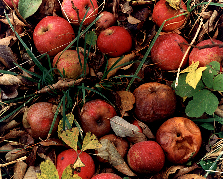 An unpublished photograph of fallen apples long past their prime at Penstone Orchard in Griggsville was taken in November, 1995 for a Heartland magazine photographic essay I did on the season of Fall. David Spencer/The State Journal-Register