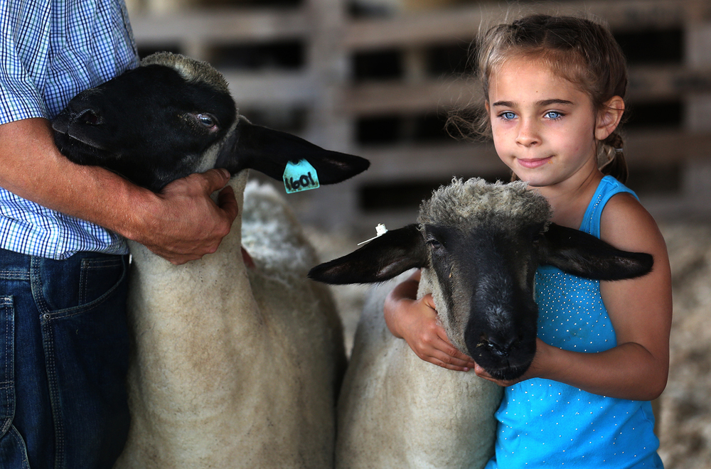 "Kenzie Meyer, 6, of Arenzville, holds one of her family's Hampshire sheep steady for the judges at the fairgrounds on Wednesday morning, July 6, 2016. The Macoupin County Fair in Carlinville, which opened on Tuesday and runs through this Saturday, traces its' history back 164 years to 1852, when the Agricultural, Horticultural and Mechanical Association of Macoupin County first held a ""meet"" on the Carlinville public square showcasing area livestock. In addition to a carnival, food and childrens activities, highlights Thursday night include a Junior Livestock Auction and mud racing; Friday night features a Tractor and Truck Pull and Saturday showcases a Western Horse Show during the day and demolition derby at night. David Spencer/The State Journal-Register"