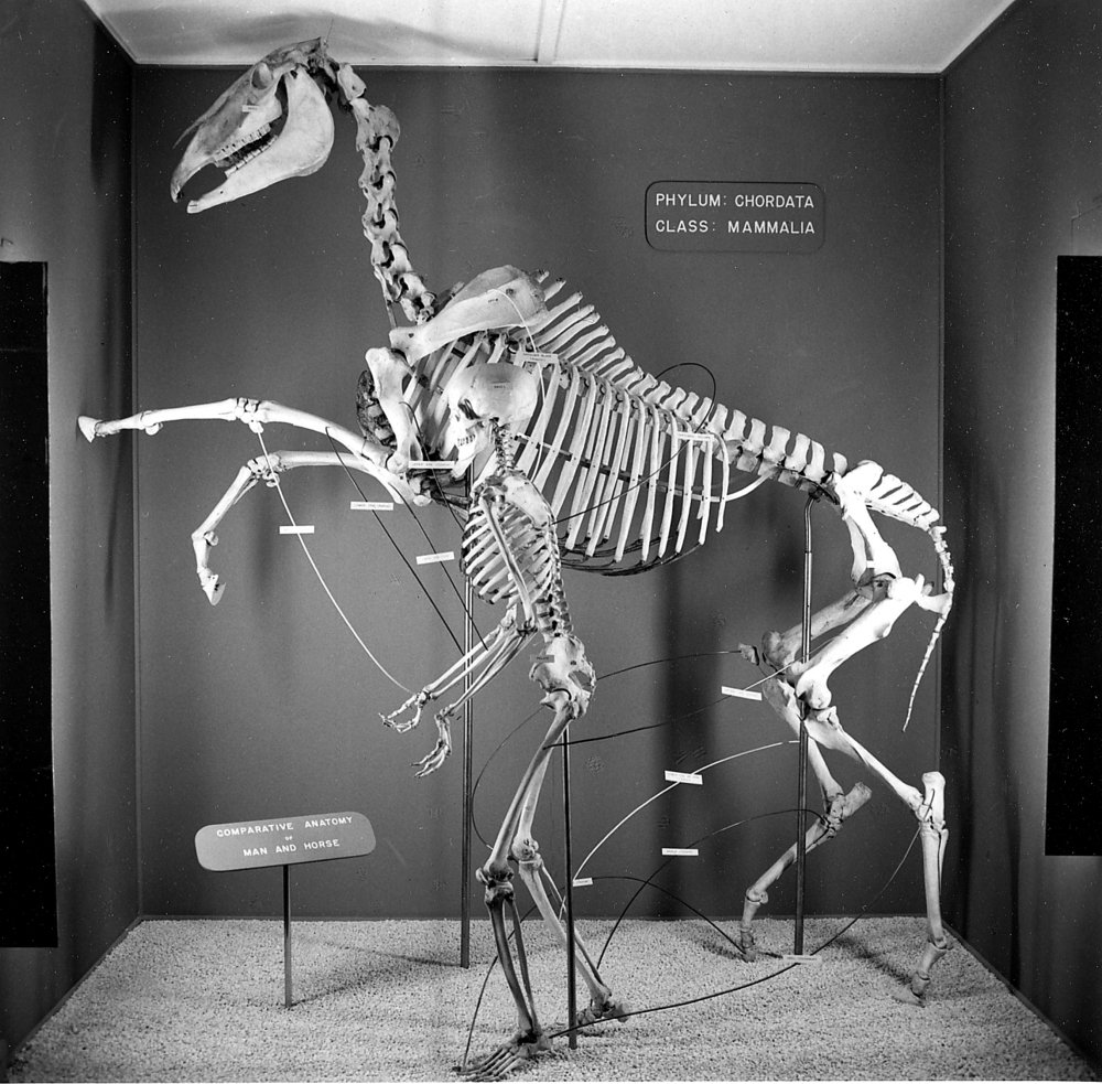 Comparative anatomy of horse and man skeleton. Photo courtesy Illinois State Museum