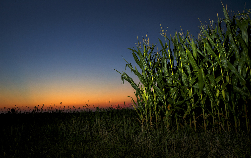 The sun sets behind a stand of corn in a field West of Springfield Friday, July 21, 2016. Healthy rains and federal forecasts of record yields since cut prices for corn to a just under $3.45 a bushel by mid-week last week and soybeans to a little less than $10.50 per bushel. Ted Schurter/The State Journal-Register