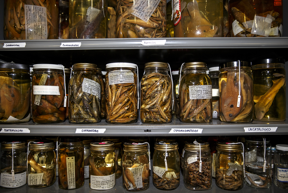 A fluid collection of amphibians, reptiles and fishes lines the shelves in glass jars at the Illinois State Museum Research-Collection Center, Friday, July 22, 2016, in Springfield, Ill. Justin L. Fowler/The State Journal-Register