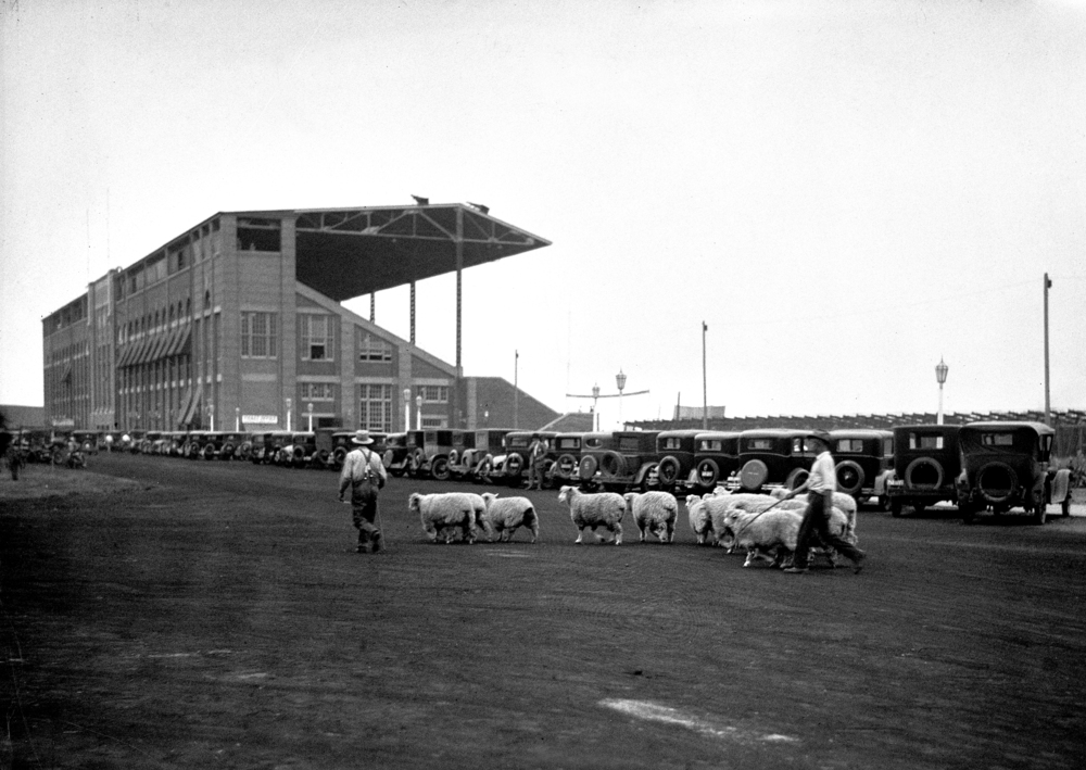 Herding sheep near grandstand at state fairgrounds.  Illinois State Journal glass plate negative/Sangamon Valley Collection at Lincoln Library. All Rights Reserved, The State Journal-Register. C-98-091 neg# 543 
