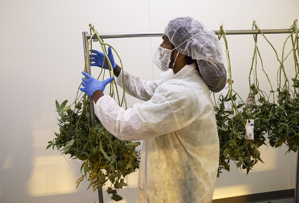 Skyler Ellis hangs harvested marijuana plants after they've been weighed and logged into a tracking system before they move into a room for further drying at Cresco Labs' medical marijuana cultivation center in Joliet Wednesday, Aug.10, 2016. Rich Saal/The State Journal-Register