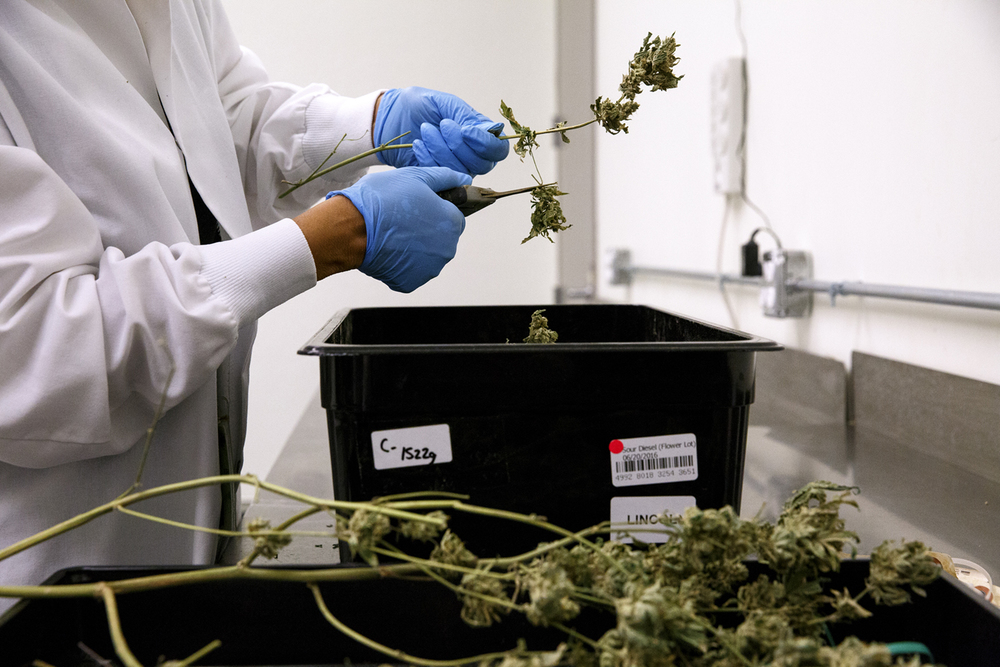 Rose Bachman clips flowers from dried marijuana plants, a process known as de-boning, at the Cresco Labs' medical marijuana cultivation center in Joliet Wednesday, Aug.10, 2016.  Rich Saal/The State Journal-Register