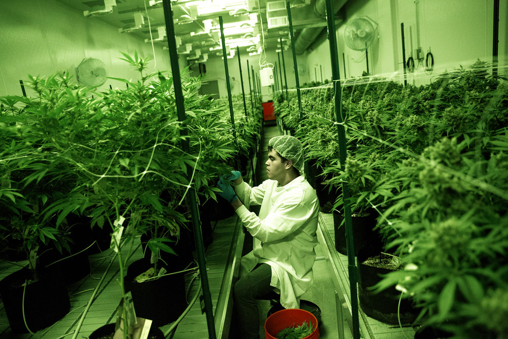 Gerardo Cruz clips the lower branches of marijuana plants to promote flowering at the Cresco LabsÕ medical marijuana cultivation center in Joliet Wednesday, Aug.10, 2016. The green lights simulate night and alternate with grow lights that are turned on several hours each day. Rich Saal/The State Journal-Register