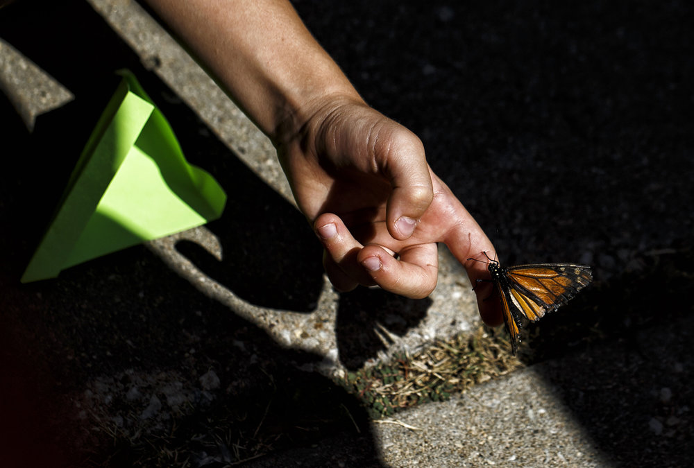 One of the nearly 200 monarch butterflies released from small envelops is scooped up from the pavement as it takes it's time before flying away during a release at the Fish Man Pet Center, Saturday, Sept. 17, 2016, in Springfield, Ill. Gary Pickett, owner of the pet store, breed about 200 butterflies for the public to release in front of his store on North Peoria Road. Justin L. Fowler/The State Journal-Register