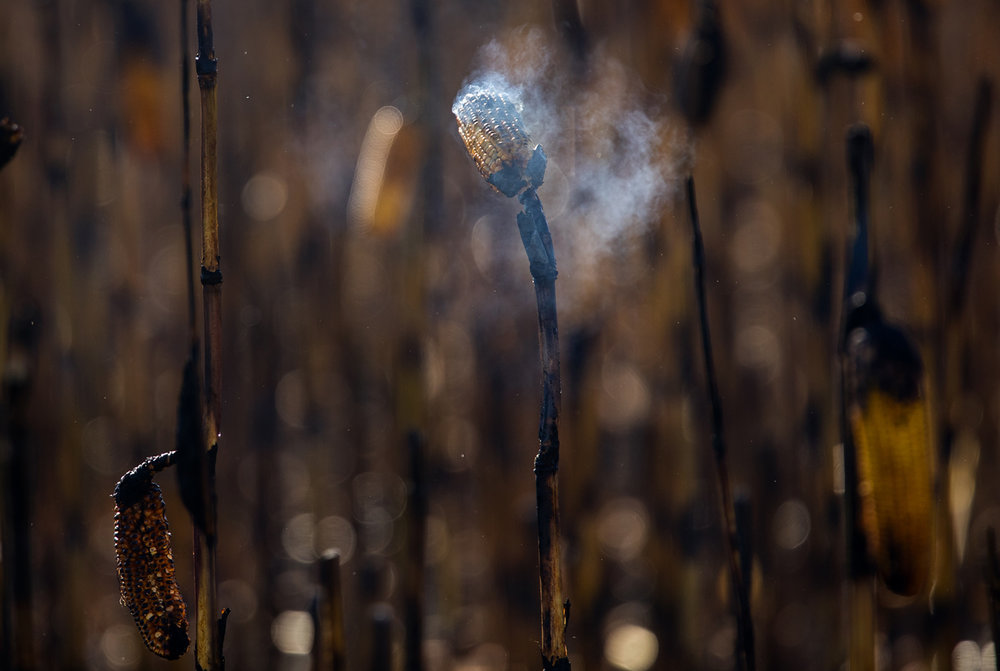 An ear of corn continues to smolder after a fire in a corn field along Boyd Farm Road east of Rochester Tuesday, Sept. 27, 2016. Ted Schurter/The State Journal-Register