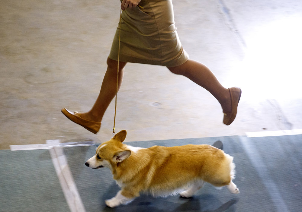 Kara Janiszak leads her dog Cami through a run during judging of the herding group at the AKC sanctioned Prairieland Classic Dog Show Sunday, Oct. 23, 2016 in the Exposition building at the state fairgrounds. Cami is a Pembroke Welsh Corgi. More than 1600 entries representing 170 different breeds competed. Rich Saal/The State Journal-Register