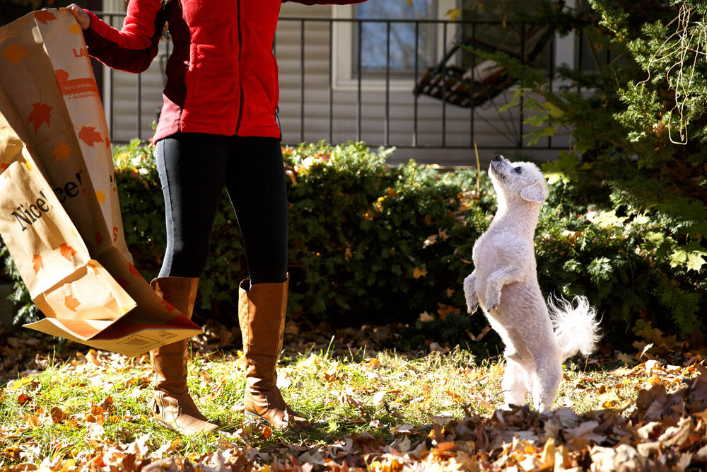 Raking leaves in the front yard of her home on S. Spring Street, Karla Hernandez was briefly distracted by play time with her dog, Rey, a Bichon, Monday, Nov. 21, 2016. Rich Saal/The State Journal-Register
