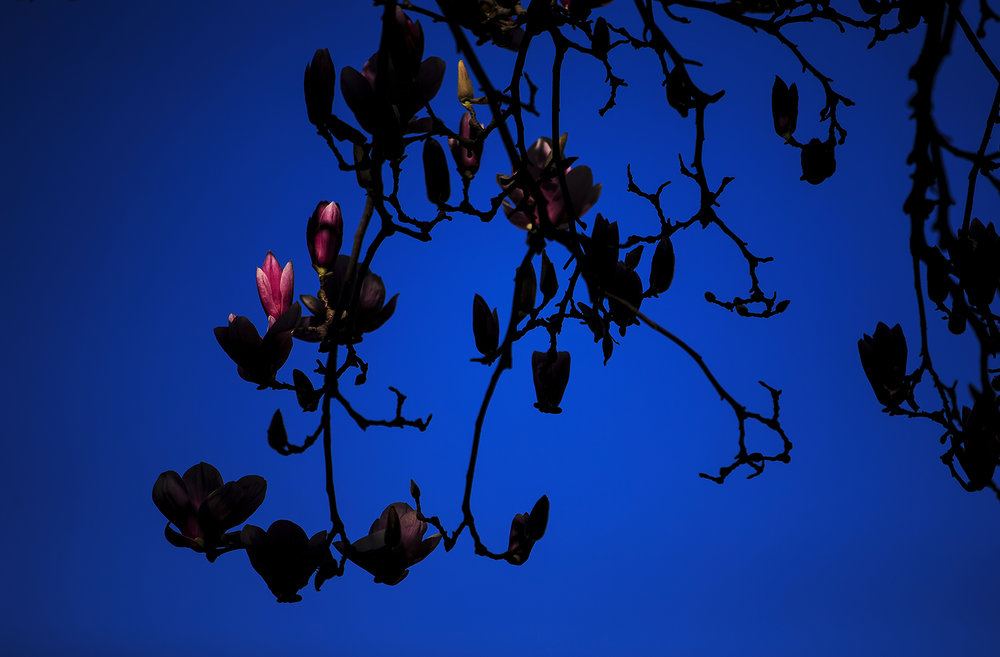 A magnolia tree blossom is lit by a sliver of sunlight March 28, 2016.  Justin L. Fowler/The State Journal-Register