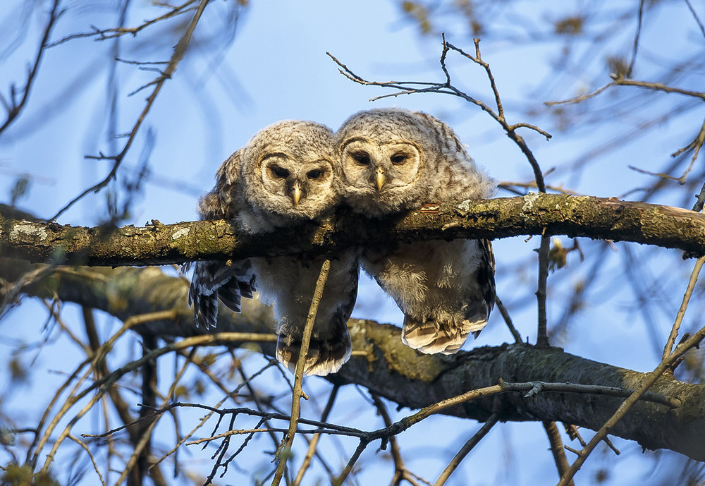 Two young barred owls peer down from a tree on South Glenwood Avenue April 15, 2016. The family of barred owls, which includes three siblings and two adults, have been visible to residents around the area for the past few weeks.  Justin L. Fowler/The State Journal-Register