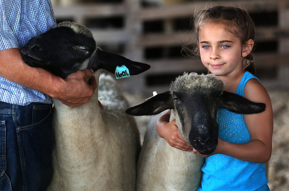 Kenzie Meyer, 6, of Arenzville, holds one of her family's Hampshire sheep steady for the judges at the Macoupin County Fairgrounds Wednesday July 6, 2016 during the Macoupin County Fair.  David Spencer/The State Journal-Register
