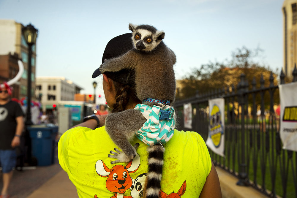 Julian, a ring-tailed lemur, rides on the shoulders of Lacey Claborn with Wild Times Exotics at the Downtown Bacon Throwdown Friday, July 22, 2016.  Ted Schurter/The State Journal-Register