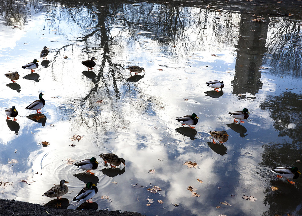 Ducks walk across ice in the Washington Park lagoon Tuesday, Jan. 10, 2016 in the shadow of the Rees Memorial Carillon. Rich Saal/The State Journal-Register