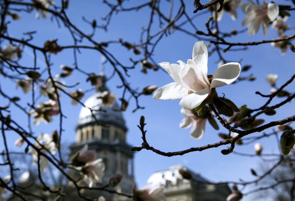 Snow and cold this weekend isn't good news for early spring bloomers, like this Star Magnolia tree near the Capitol Thursday, March 9, 2017. [Rich Saal/The State Journal-Register]