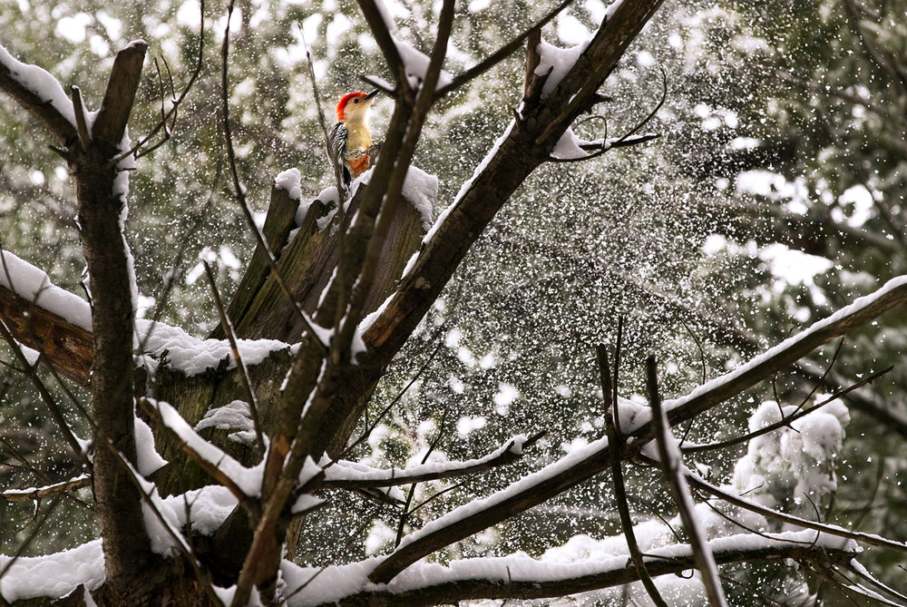 A red bellied woodpecker sits on a branch as a cascade of snow falls behind him near Lake Williamsville Monday, March 13, 2017. [Ted Schurter/The State Journal-Register]
