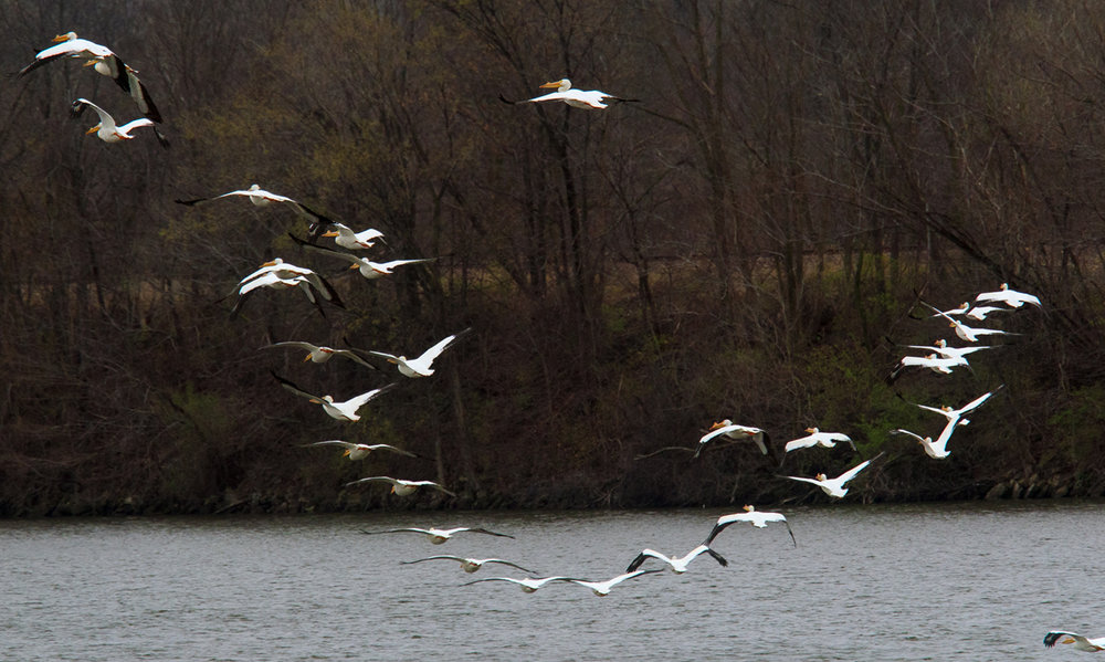 Nearly three dozen white pelicans take flight from Lake Springfield Sunday, March 26, 2017. The birds have become a regular spring guests at the lake as they retreat north after spending the winter in warmer southern states. [Ted Schurter/The State Journal-Register]