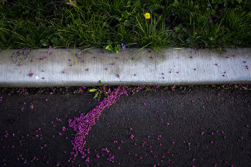 Redbud tree flowers collect on the ground on Cedar Street in Springfield Tuesday, April 10, 2017. [Rich Saal/The State Journal-Register]