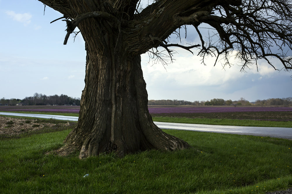 A stretch of purple henbit lies in the distance beyond an oak tree south of Chatham Monday, April 9, 2017. [Rich Saal/The State Journal-Register]