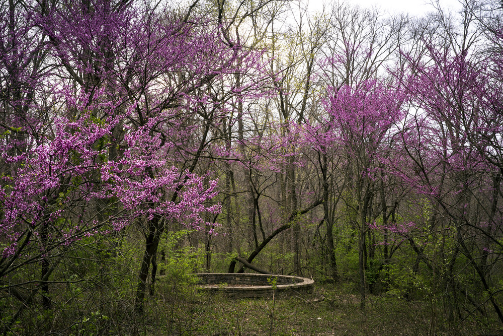 Redbud trees in full bloom brighten a section of Lincoln Memorial Garden Monday, April 9, 2017. [Rich Saal/The State Journal-Register]