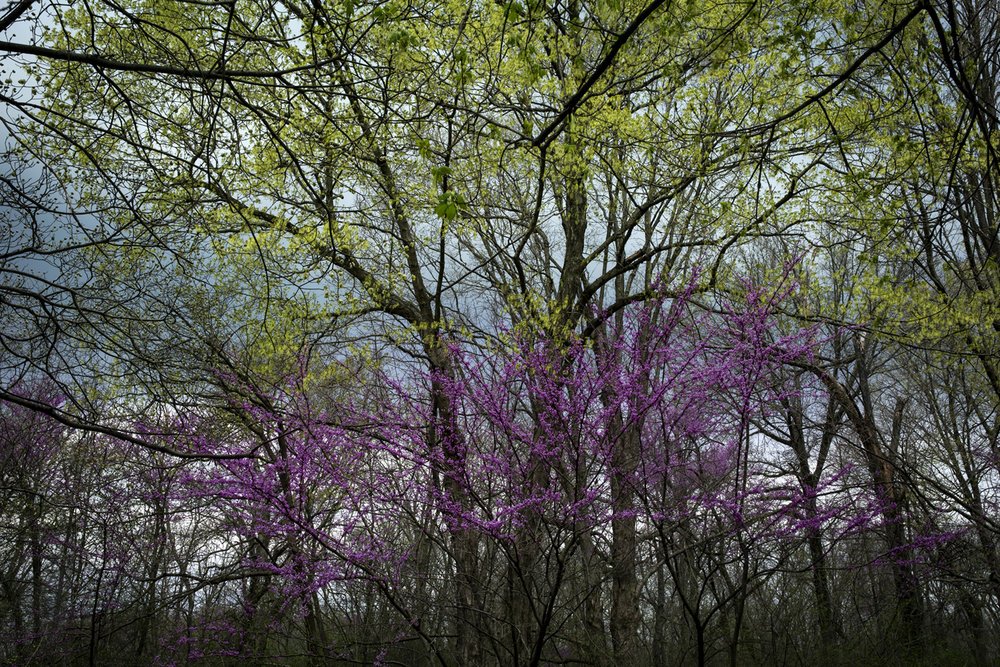 Redbud and oak trees create a spring color palette in Lincoln Memorial Garden Tuesday, April 10, 2017. [Rich Saal/The State Journal-Register]