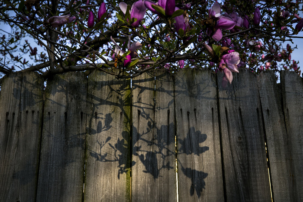 A pink magnolia casts shadows Tuesday, April 10, 2017. [Rich Saal/The State Journal-Register]