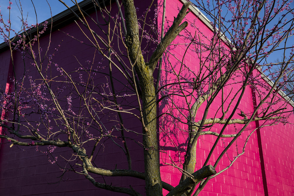 A redbud tree almost blends with the colorful paint on the Legacy Theater Tuesday, April 10, 2017. [Rich Saal/The State Journal-Register]