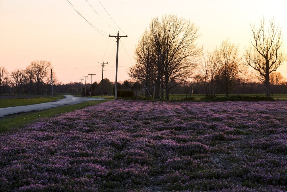 A field of purple henbit near New Berlin is lit by the setting sun Tuesday, April 10, 2017. [Rich Saal/The State Journal-Register]