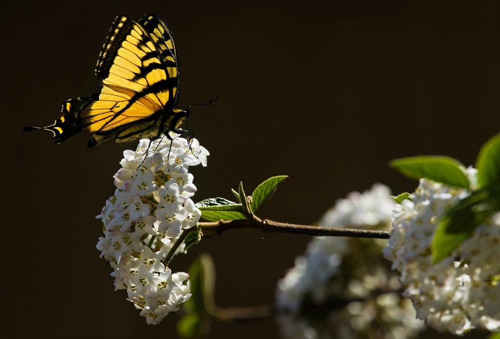 "An eastern tiger swallowtail perches on a bunch of white flowers Wednesday, April 12, 2017. The butterfly gets its name from the four black ""tiger stripes"" on each forewing. [Ted Schurter/The State Journal-Register]"