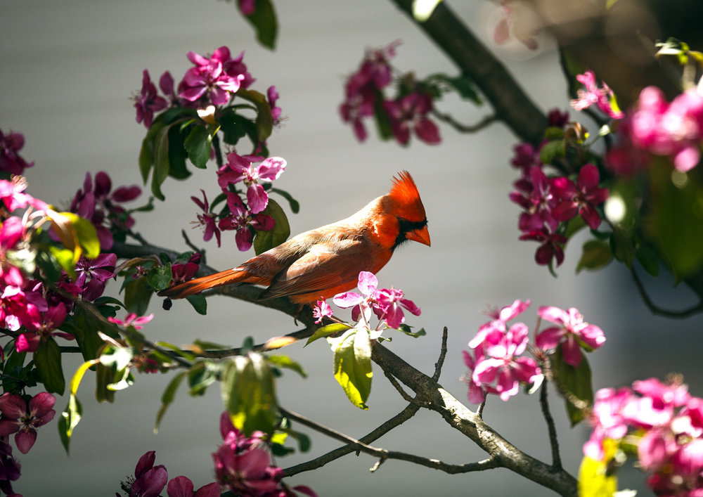 A cardinal is perched in the branches of a pink flowering crab tree April 12, 2017. [Rich Saal/The State Journal-Register]