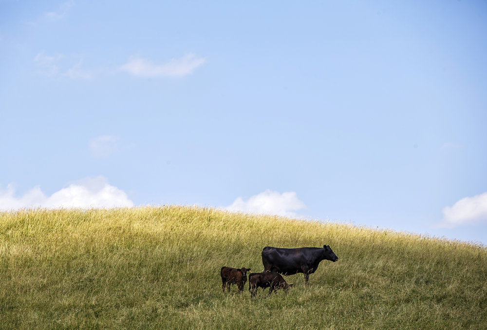 A cow along with two calves graze along a hillside along IL 123 just west of Nolting Road, Monday, June 12, 2017, near Petersburg, Ill. [Justin L. Fowler/The State Journal-Register]