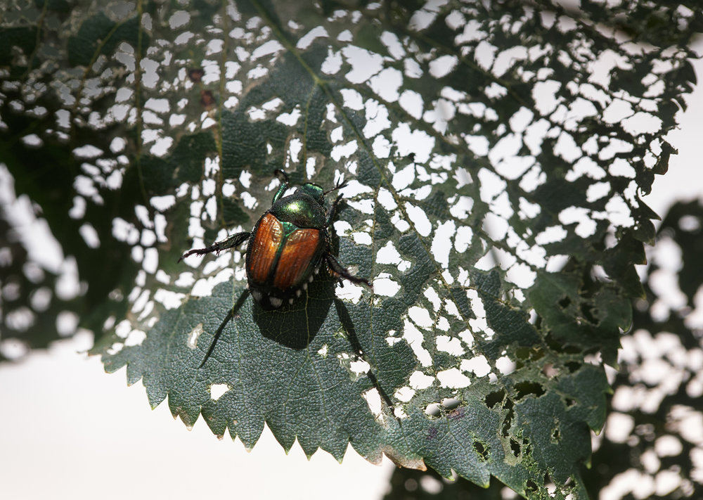 "A Japanese beetle feeds on the leaf of a basswood tree on the northwest corner near Municipal Center West, Friday, July 14, 2017, in Springfield, Ill. This feeding damage is called leaf skeletonization and is mostly cosmetic to the trees as they have produced much of the needed nutrients at this point in the season according to Steve Green, master arborist with Green View in Springfield. ""Japanese beetle infestation seems to be moving west and Springfield is on the eastern side of that migration,"" said Green. The increase in population of the beetles is due mostly to two mild winters in a row for Central Illinois. ""It is not realistic to kill them all,"" said Green. ""They are very mobile insects and will change feeding locations every five to seven days. There is one thing that helps, if you limit (through treatment) the early feeding areas it will help with later visits. The first feeders mark their preferred sources for the season which lasts from four to six weeks."" [Justin L. Fowler/The State Journal-Register]"