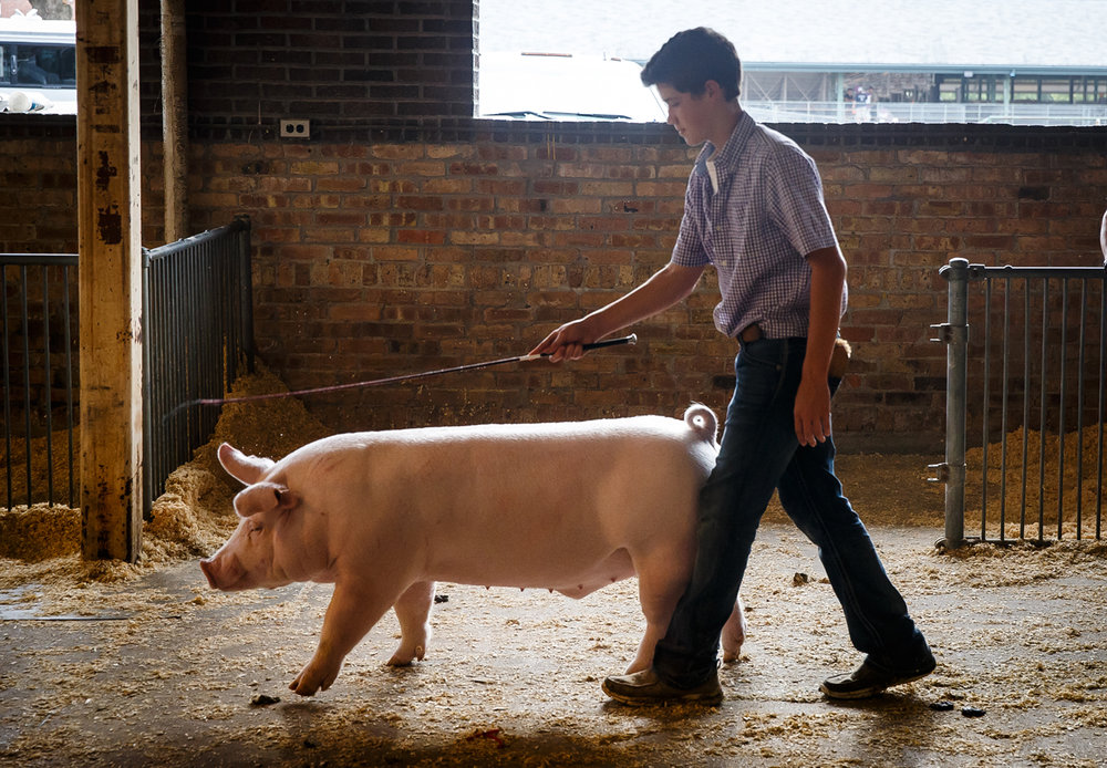 Evan Wynne, Alexis, Ill., moves one his show pigs through the Swine Barn as junior competitions wind down on the Illinois State Fairgrounds, Sunday, Aug. 13, 2017, in Springfield, Ill. [Justin L. Fowler/The State Journal-Register]