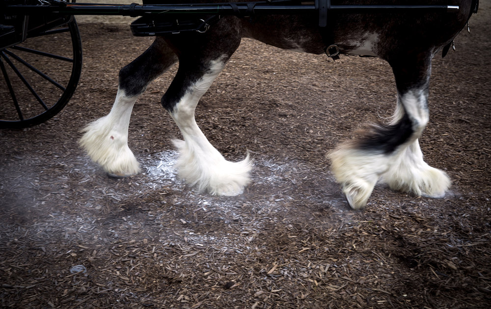 The four white hoofs of Gabby, freshly powdered for the show ring, step forward in the Clydesdale Lady Cart Class at the Illinois State Fair Monday, Aug. 14, 2017. Gabby and her driver, Leah McElhinney, are from Hastings Clydesdales in New London, Iowa. [Rich Saal/The State Journal-Register]