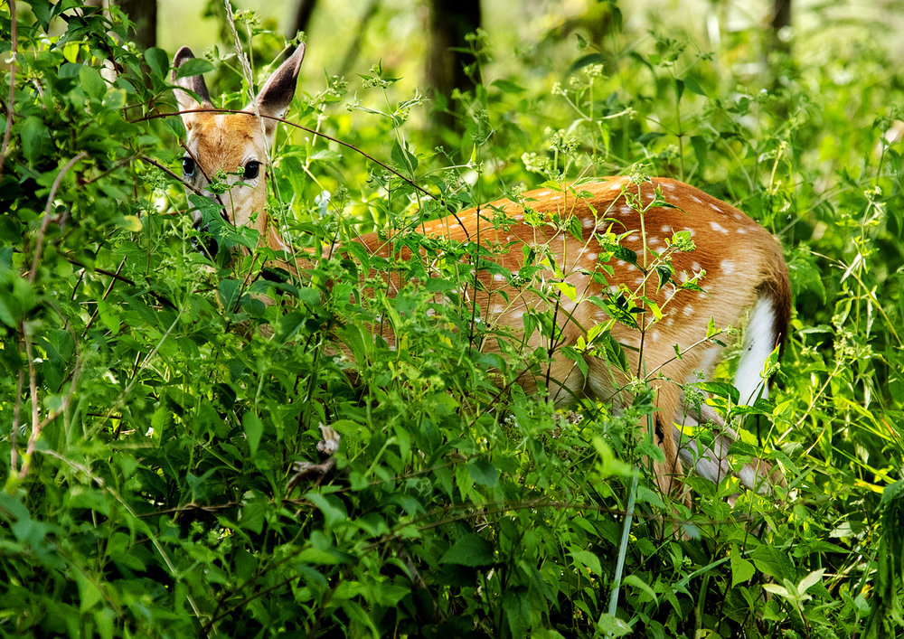 A white tailed fawn slips into the brush near Lake Springfield Monday, Aug. 28, 2017. The fawn's spots help it blend into the dappled sunlight of wooded areas and will disappear with the arrival of colder weather and the fawn's thicker winter coat. [Ted Schurter/The State Journal-Register]