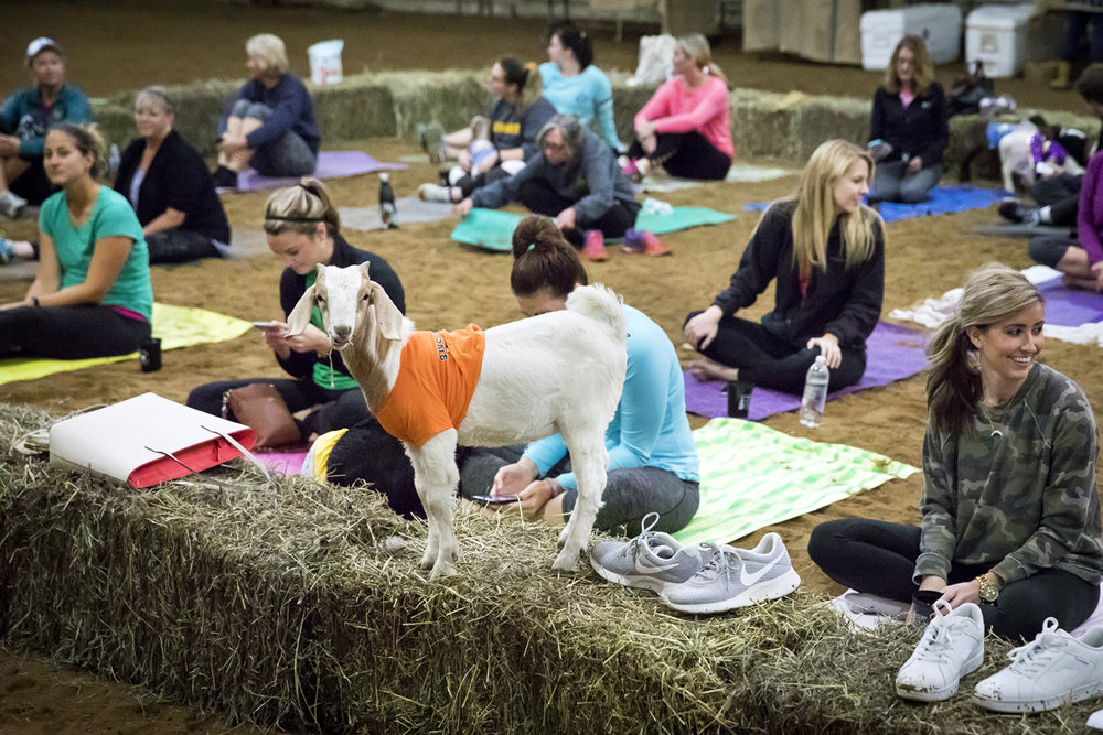 A goat snacks on alfalfa Sunday, Oct. 22, 2017 during a yoga class at Willow City Farm. [Rich Saal/The State Journal-Register]
