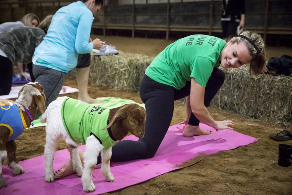 Katie Hamilton tries to complete a yoga pose but finds a goat in her way Sunday, Oct. 22, 2017 during a yoga class at Willow City Farm. [Rich Saal/The State Journal-Register]