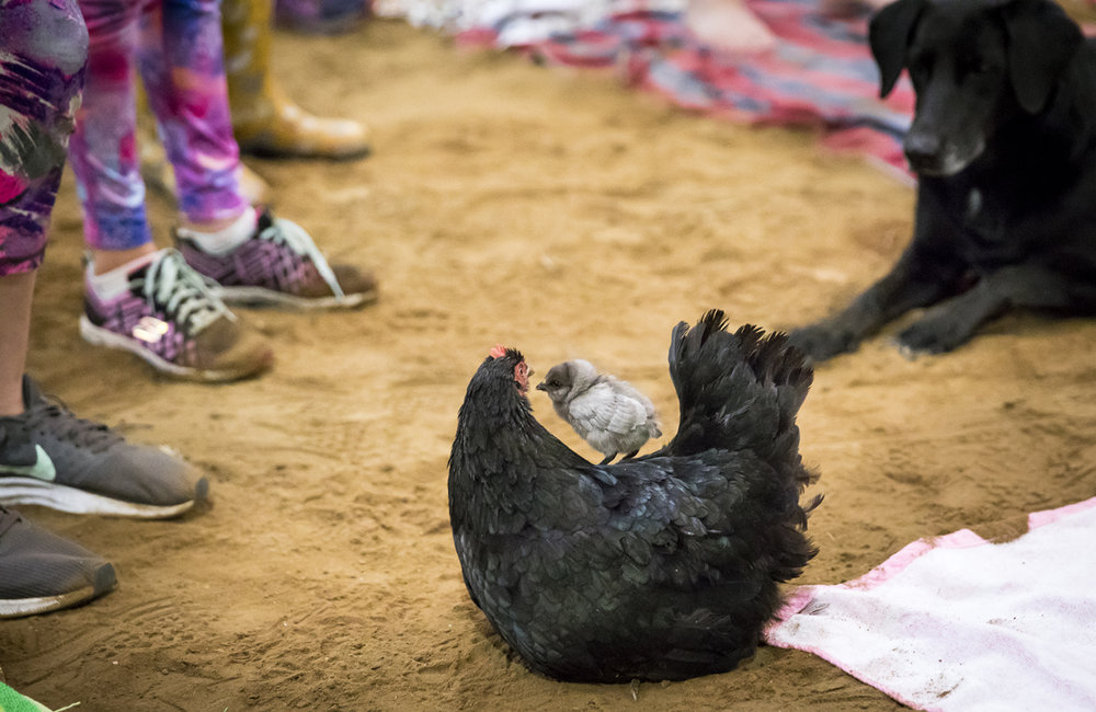 Sweet Pea the chicken, and one of her baby chicks, draws a crowd during a break in a yoga class with goats Sunday, Oct. 22, 2017 at Willow City Farm near Cantrall. [Rich Saal/The State Journal-Register]