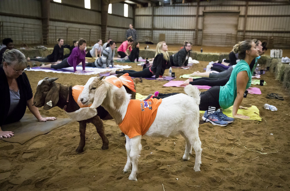 Goats wander through participants in a yoga class Sunday, Oct. 22, 2017 at her farm near Cantrall. [Rich Saal/The State Journal-Register]