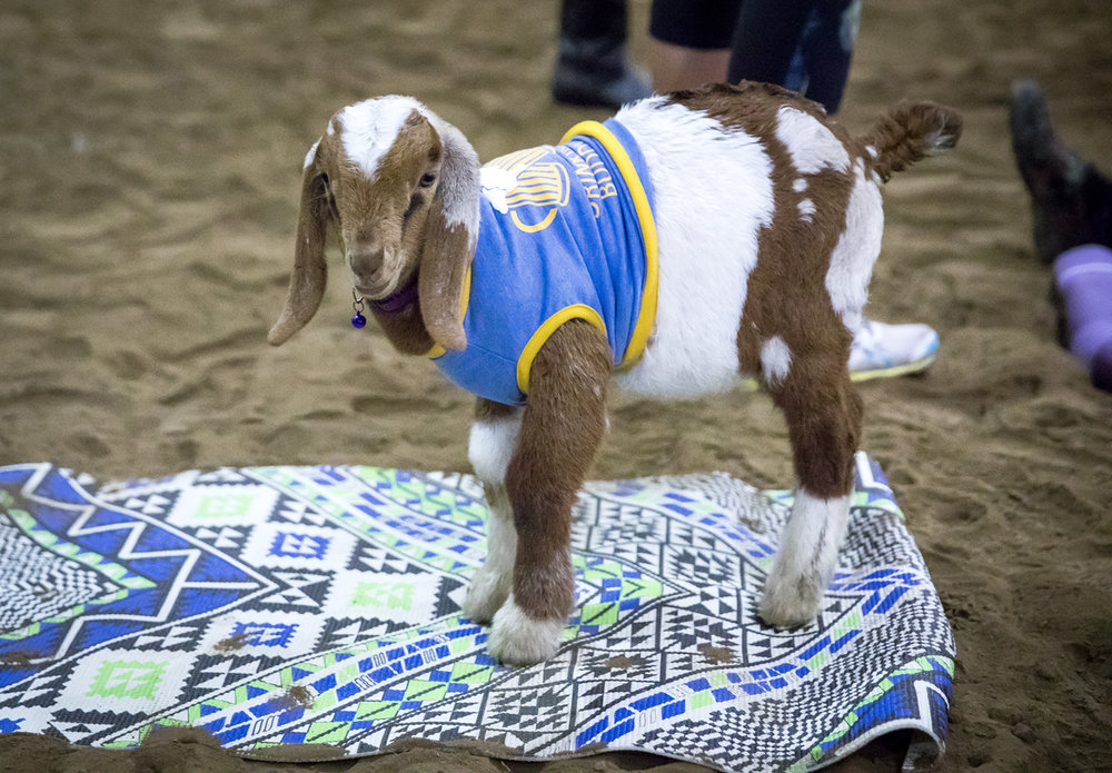 A goat stands on a yoga mat prior to a session of goat yoga Sunday, Oct. 22, 2017 at Willow City Farm near Cantrall. [Rich Saal/The State Journal-Register]