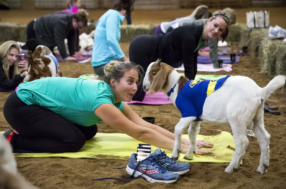 It might have been a challenge for Dana Moomey to concentrate on her yoga poses, but that wasn't the point during a session of goat yoga Sunday, Oct. 22, 2017 at Willow City Farm near Cantrall. Being around animals can reduce stress levels, according to Kim Hayes Jasker, the instructor who led the class. Jasker and Tara Davlin Holcomb, the farm's owner, partnered to offer the area's first yoga class with goats. [Rich Saal/The State Journal-Register]