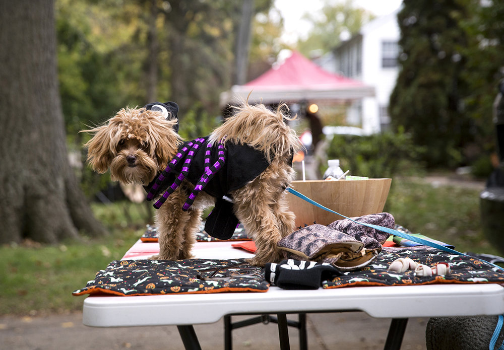 Heidi and Keith Voegele's dog Louie watches for trick or treaters on South Glenwood Avenue Tuesday, Oct. 31, 2017. [Rich Saal/The State Journal-Register]