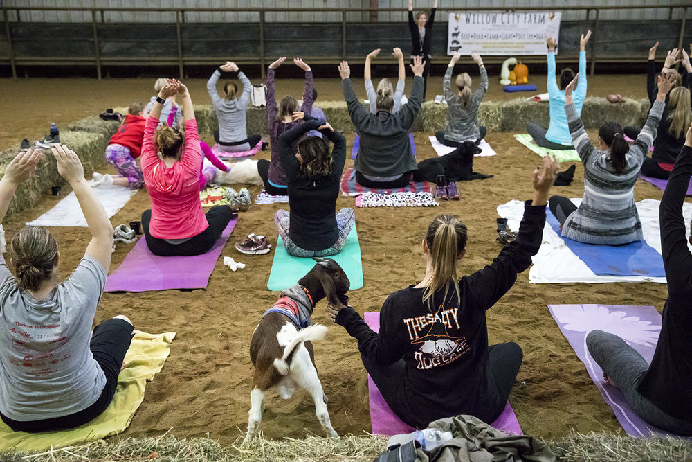 Participants stretch into a yoga pose in a class with goats Sunday, Oct. 22, 2017 at Willow City Farm near Cantrall. [Rich Saal/The State Journal-Register]