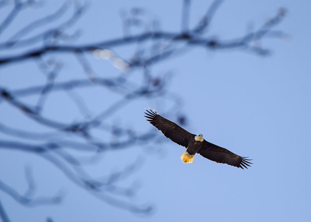 A bald eagle soars above the tree banches at Lake Springfield Thursday, Dec. 7, 2017. During the winter, bald eagles in Illinois are found primarily along major rivers where they can find the small fish that supports their diet. [Ted Schurter/The State Journal-Register]