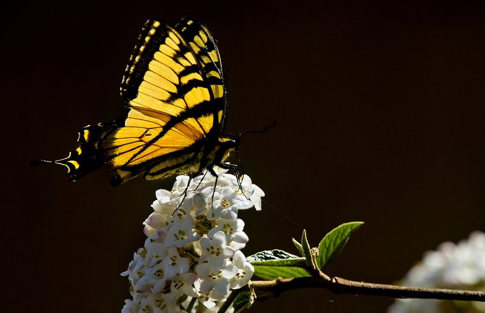 "An eastern tiger swallowtail perches on white flowers April 12. The butterfly gets its name from the four black ""tiger stripes"" on each forewing. Ted Schurter/The State Journal-Register"